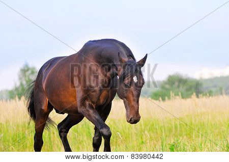 Portrait Of Bay American Trotter Horse In Summer