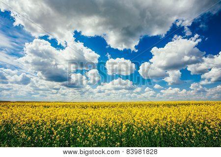 Green Field Blue Sky. Early Summer, Flowering Rapeseed. Oilseed