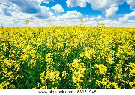 Green Field Blue Sky. Early Summer, Flowering Rapeseed. Oilseed