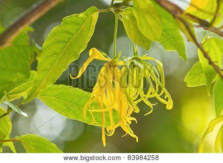 Dwarf Ylang-ylang Flower Bloom In Garden