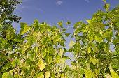 Green stalks of a string bean in the garden poster