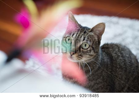 Tabby Cat Looking At A Feather Toy
