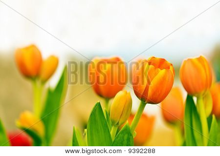 beautiful orange tulips 2