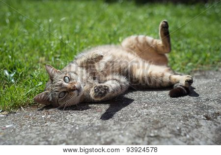 Tabby Female Cat Wallowing Outdoors