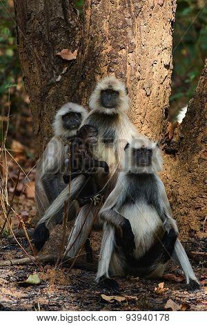 Family of monkey four Languor.