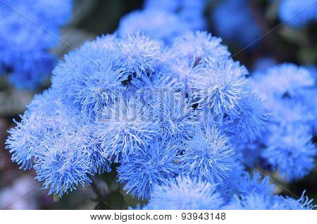 Blue ageratum