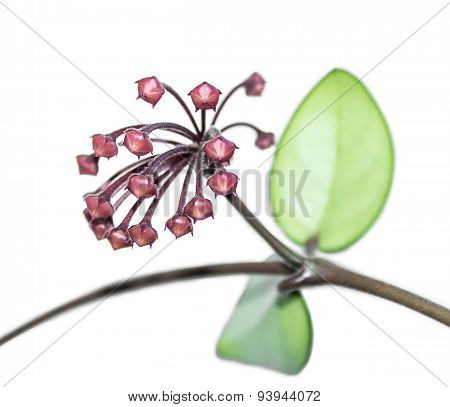 Flower buds Hoya