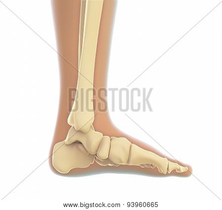 Human Foot Anatomy