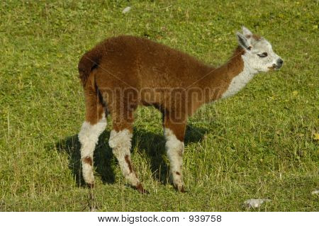 a cute little cria (the correct name for a baby llama). poster