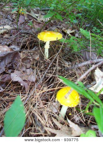 Pretty Yellow Fungi