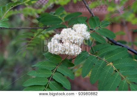 Sorbus Aucuparia Flower