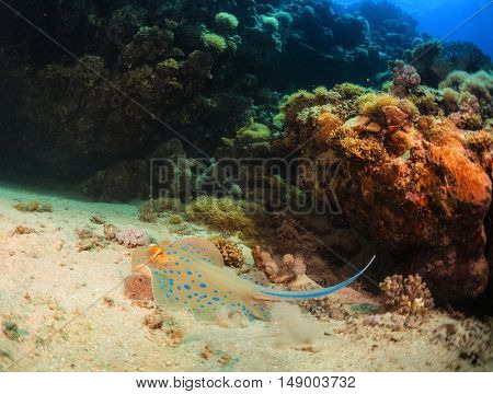 Coral reefs with stingray in the Ras Muhammad National Park. Egypt