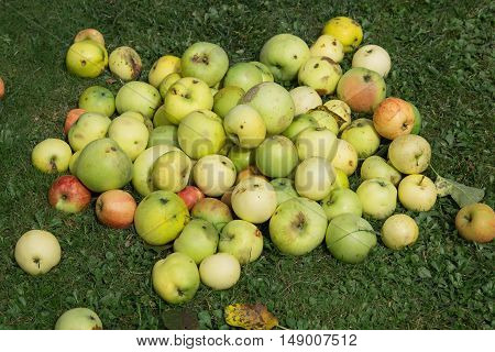 Fallen Apples At Garden Lawn