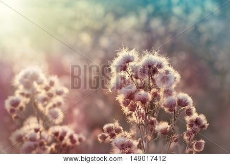 Seeds of thistle - burdock (beautiful nature in autumn)