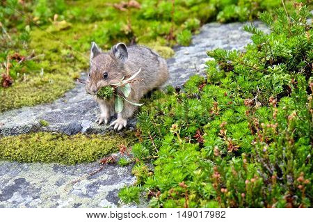 Little cute wild animal in alpine meadows. Rocky Mountains. Banff National Park. Alberta. Canada.