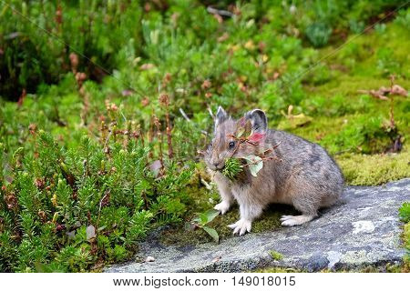Pika collecting grass for winter. Rocky Mountains. Banff National Park. Alberta. Canada.