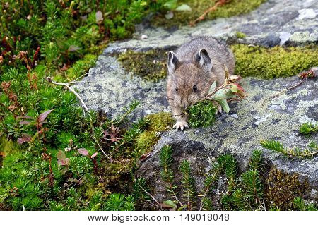 Pika carrying grass in Canadian Rockies. Banff National Park. Alberta. Canada.