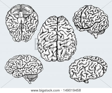 Hand drawn human brains in different views. Vector illustration.