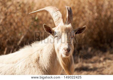 Portrait of a Saanen billy goat in the fields.