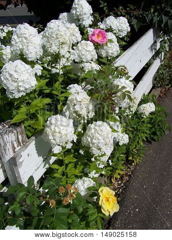 Phlox and roses along the white fence