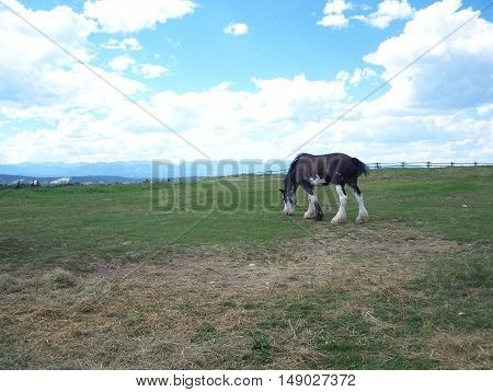 Clydesdale horse grazing in the farm field