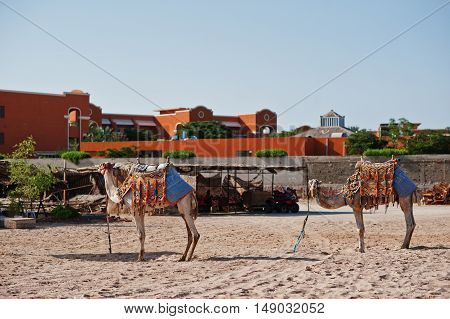 Two Dressed Camels On The Beach At Sand