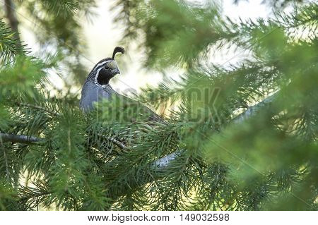 Quail in tree behind pine needles. A cute california quail is perched up in a tree.
