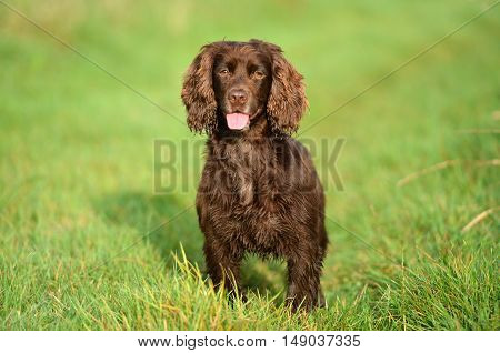 Liver working cocker spaniel panting towards camera