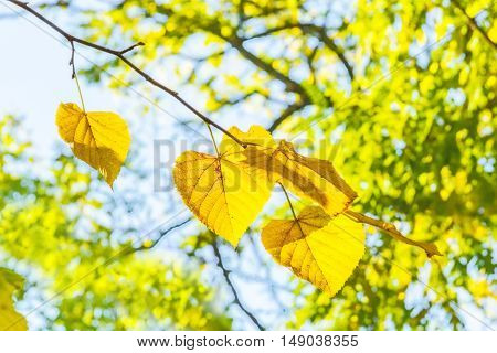 Yellow leaves on a branch of a linden backlit on a blurred background of autumn foliage and blue sky on a sunny windy day