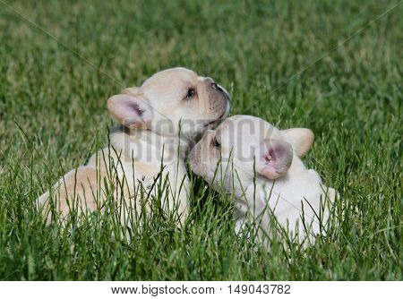 two french bulldog puppies outside in the summer grass