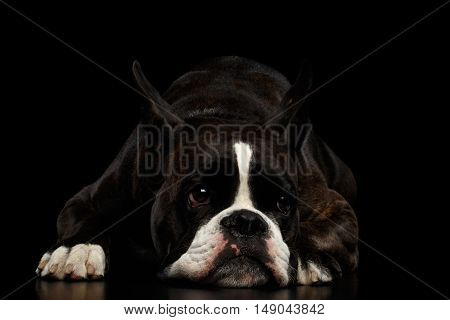 Purebred Boxer Dog Brown with White Fur Color Lying and Bored Isolated on Black Background