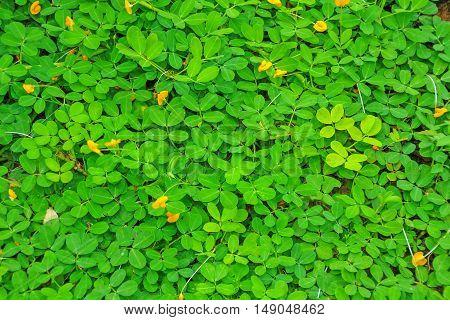 Yellow Brazil Nuts Flower