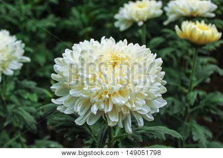 Chrysanthemum farm on Doi Inthanon mountain in Chiang Mai, Thailand