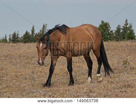 Wild Horse Dun Buckskin Stallion on Sykes Ridge in the Pryor Mountains in Montana USA