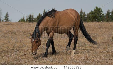 Wild Horse Dun Buckskin Stallion on Sykes Ridge in the Pryor Mountains in Montana - Wyoming United States