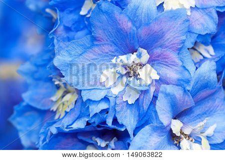 blue flowers of a delphinium close up macro