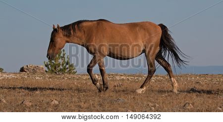 Wild Horse Dun Buckskin Stallion on Tillett Ridge above Teacup Bowl in the Pryor Mountains in Montana - Wyoming USA