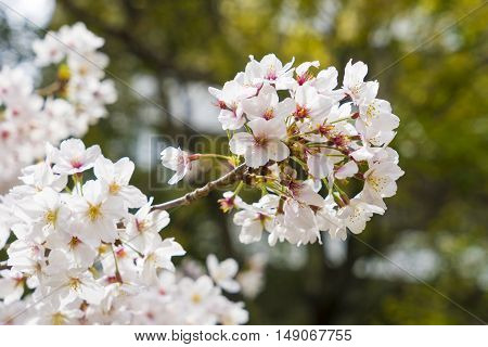 White flower Beautiful cherry blossom sakura in Japan
