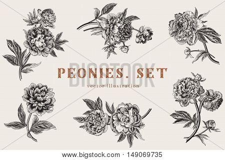 Vintage vector floral detailed illustration. Peonies. Set.
