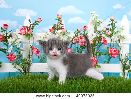 Adorable medium haired gray and white tabby kitten standing in long grass mouth open with white picket fence in background pink roses and white flowers on fence sky background with clouds.