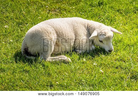 Adorable little lamb is resting in the fresh grass with some daisies. It's spring now.
