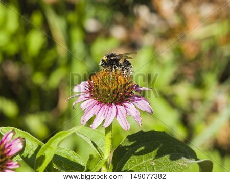 Bumblebee on Purple coneflower Echinacea purpurea flower close-up selective focus shallow DOF