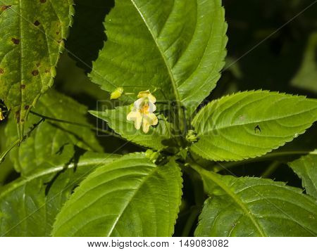Small balsam or touch-me-not Impatiens parviflora flower close-up selective focus shallow DOF
