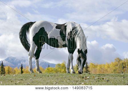 Tobiano Pinto Stallion grassing in front of mountainautumn scenery