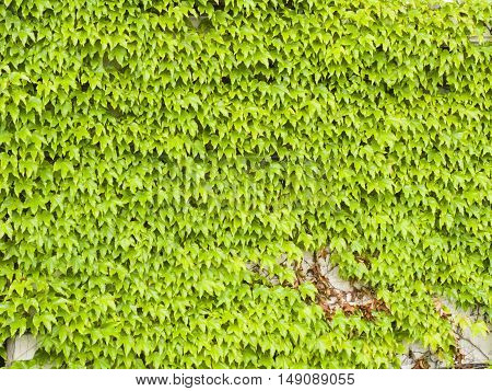 Old stone wall covered by Common or European Ivy Hedera helix background texture close-up selective focus shallow DOF