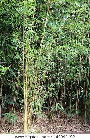 large bamboo stalks with green leaves in a cane field