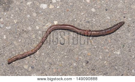 Long earth worm on asphalt road macro selective focus shallow DOF