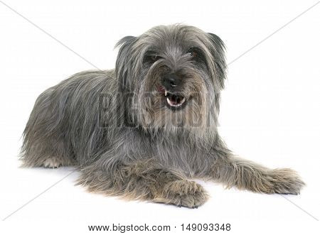 angry pyrenean shepherd in front of white background