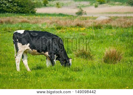 Holstein Friesian Cow On A Field In Denmark