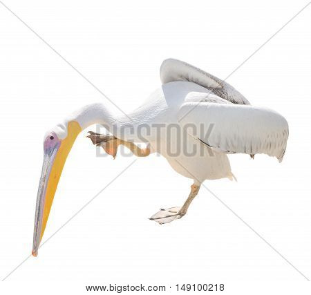 Big beautiful white pelican isolated on white. Funny cute zoo bird pelican. Pelican - large water bird that eat fish